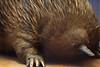 Short Beaked Echidna (Seeing Visions) Tags: 2018 canada ca québec montréal mcgilluniversity redpathmuseum shortbeakedechidna mammal monotreme taxidermy stuffed spines claws beak naturalhistorymuseum raymondfujioka