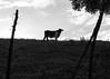 Torito (Marcos Núñez Núñez) Tags: bull blackandwhite bw monochromatic landscape