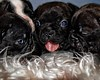 Birthday Party (Cindy Roy's Photography) Tags: puppies cute dog bulldogs pet animal new happy