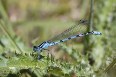 Zygoptera (Jacko 999) Tags: zygoptera damselfly damselflies macro insect blue pretty fly robert eede canon eos 7d mark ii ef100400mm f4556l is usm ƒ110 4000mm 1200 iso100 odonata