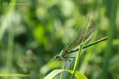damselfly (photos4dreams) Tags: gersprenz münster hessen germany naturschutz nabu naturschutzgebiet photos4dreams p4d photos4dreamz nature river bach flus natur pur susannahvvergau