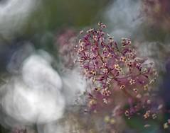 Cotinus. (agnieszka.a.morawska) Tags: manualfocus manuallens helios helios44m nature dof bkhq cotinus beyondbokeh bokehlicious bokeh flowers perukowiec