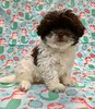 Shihpoo (female) (PetopiaVa) Tags: puppies new