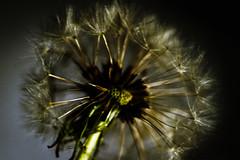 Sparklers (sarabernheisel) Tags: macromondays lowkey dandylion