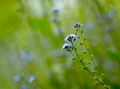 Forget-me-not (agnieszka.a.morawska) Tags: may nature helios helios44m dof bokeh bkhq beyondbokeh bokehlicious meadow flowers spring forgetmenot niezapominajki