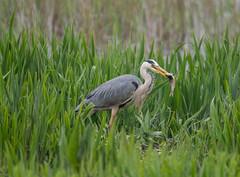 Grey Heron 13-05-2018-6525 (seandarcy2) Tags: heron grey bird minsmere rspb wildlife reedbed uk