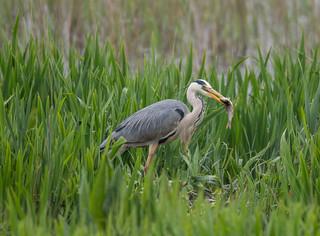 Grey Heron 13-05-2018-6525