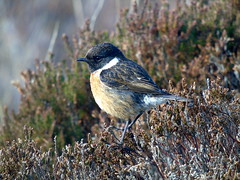 Stonechat (stuartcroy) Tags: orkney island stonechat beautiful bird heather