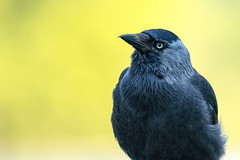 Strike a Pose (CJH Natural) Tags: jackdaw dohle rapeseed inquisitive handsome yellow black blue nature wildlife crow eye feathers stunning avian wild