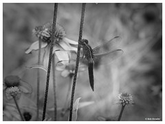 Dragonfly among Flowers (PEN-F_Fan) Tags: monochrome mirrorless microfourthirds olympusomdem10ii northamerica monotone mft lens ladybirdjohnsonwildflowercenter insect m43 mzuiko75300mmf4867ii omd texas style raw zoomlens unitedstatesofamerica type processingsoftware photoframe photoedge photoborder preset postprocessing plant camera coneflower blackandwhite alienskin alienskinexposure dragonfly filmlook flower fauxinfrared effect exposurex3 austin unitedstates usa macro art