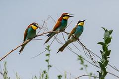 20mai18_22_prigorii prundu 22 (Valentin Groza) Tags: prigorie prigorii bee eater merops apiaster romania summer bird flight bif birdwatching outdoor