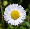 Daisy (LuckyMeyer) Tags: flower fleur blume blüte yellow white sun spring daisy gänseblümchen green garden