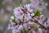 Beautiful!! (lvphotos!) Tags: blossom flower spring pink color cherry tree colors closeup season springtime outdoor april