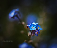 In The Shadows (jeanmarie's photography) Tags: dof shallowdepthoffield 90mm tamron macro bokeh flora flower blue wildflowers forgetmenot jeanmarieshelton weed