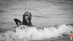 Seehund Luna (Norbert Kiel) Tags: luna wasser bw blackandwhite baden spielen hund ostsee schleswigholstein deutschland nokiart monochrom