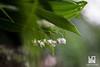 MUGHETTI (Lace1952) Tags: primavera sottobosco fiori mughetto convallariamaialis gigliodelleconvalli effetto luce sfocato bokeh fuorifuoco rugiada veleno velenoso foglie