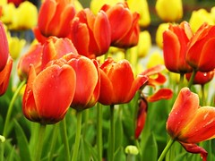4944ex2  tulip exuberance (jjjj56cp) Tags: spring springtime tulips red orange gold green closeup gardens plantings color colorful vivid vibrant cincinnatizoo czbg cincinnati oh ohio p900 jennypansing misty dew drops droplets dewdrops flowers blossoms blooms