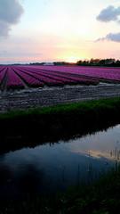 BANT, THE NETHERLANDS (pwitterholt) Tags: bant flevoland noordoostpolder tulip tulips tulipfields tulp tulpen tulpenvelden evening avond sunset zonsondergang avondlicht reflection reflectie clouds wolken weerspiegeling weerkaatsing paars purple water sloot ditch canon canoneosm3