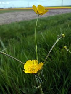 Ranunculus Acris (142520811)