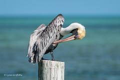 Brown Pelican 500_8354.jpg (Mobile Lynn) Tags: pelican brownpelican birds nature bird fauna pelecaniformes pelecanusoccidentalis shag wildlife waterbird waterbirds islamorada florida unitedstates us coth specanimal coth5 ngc npc