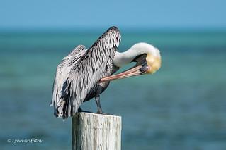 Brown Pelican 500_8354.jpg