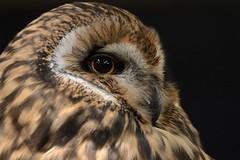 Asio flammeus (Pedro R Martins) Tags: asio flammeus shorteared owl corujadonabal