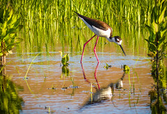 """Me and My Reflection""  Black-Necked Stilt (Cathy Lorraine) Tags: bird shorebird wetlands coastlines blackneckedstilt nature outdoors california marsh water sunshine springtime sunlight reflections"