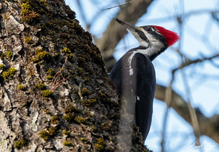 Grand Pic // Pileated Woodpecker