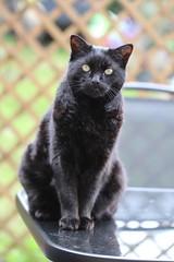 Cat on a Table (haberlea) Tags: garden mygarden blackberry cat pet blackcat table