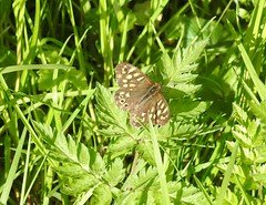 Speckled Wood Butterfly, St Dial's Road, Cwmbran 30 April 2018 (Cold War Warrior) Tags: speckled butterfly lepidoptera cwmbran