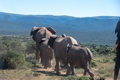 Just Walking Along (zenseas) Tags: africanelephant wild workingholiday southafrica workingvacation elephant addo elephants addoelephantnationalpark africa vacation africanbushelephant holiday loxodontaafricana
