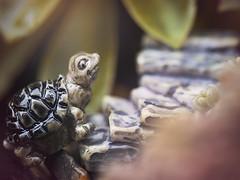 Slow & Steady Wins the Race (Jam-Gloom) Tags: olympus olympusuk olympusomd olympusomdem5 omd em5 omdem5 60mm28 60mmmacro28 60mmmacro 60mm 28 macro succulent succulents miniature miniatures diorama turtle tortoise stairs