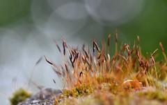 sunny sporophytes (Megs svg) Tags: moss sporophytes spores bokeh spring handheld macro nature outdoors natur dof blur flora