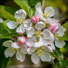 Wild Apple Blossoms (Martin Smith - Having the Time of my Life) Tags: wildappleblossoms appleblossoms flowermacro macro martinsmith ©martinsmith delta britishcolumbia canada ca