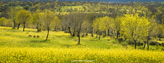 Yellow field (Ignacio Ferre) Tags: yellow amarillo campo field árbol tree bosque forest panorama paisaje landscape naturaleza nature spring primavera nikon segovia comunidaddecastillayleón españa spain hierba
