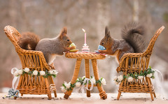 red squirrels on chairs with a wedding table (Geert Weggen) Tags: bridesmaid paranymph animal arrangement celebration celebrationevent ceremony domesticanimals event happiness holidayevent joy lifeevents outdoors parade photography princeroyalperson princeregiment royalty smiling traditionalceremony wedding weddingceremony harry meghan princess squirrel redsquirrel marry word text bridalveil open mouth dress happy fun congrats bestwishes table cake drink meal coffee candle light romantic chair bispgården jämtland sweden geert weggen hardeko ragunda