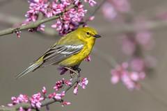 Pine Warbler (www.studebakerstudio.com) Tags: pine warbler pinewarbler bird songbird passerine studebaker redbud lakehope