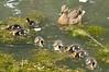 L'heure du goûter (Phil du Valois) Tags: canard colvert duck mallard faune sauvage libre wildlife free geresme