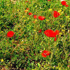 saturation (brunolabs) Tags: wild poppy red green weeds square saturation color spring