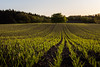 agricultural perfection (GeoMatthis) Tags: landscape landschaft light sunset sunrise minimal abstract green nature natur grün field spring frühling plants lines diagonal parallel simple minimalism minimalismus germ germany kiel schleswigholstein