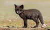 Black variant Red Fox Kit (Vulpes vulpes) (bcbirdergirl) Tags: vulpesvulpes redfox kit baby young blackvariant blackcolourmorph youaresobeautifultome tatertot cutie cutiepie