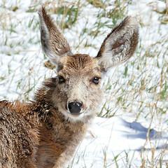 Young Deer in the April Snow (Colorado Sands) Tags: muledeer snow wildlife wildanimals colorado jeffersoncounty springtime sandraleidholdt younganimal usa odocoileushemionus deer animal
