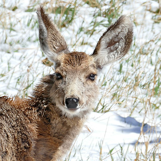 Young Deer in the April Snow