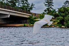 18:52-2 Egret in motion (Woodlands Photog) Tags: great egret white bird heron ardeidae texas thewoodlands houston lake water