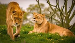 Lion Country (Yorkshire_Magic) Tags: lion lioness yorkshirewildlifepark animals