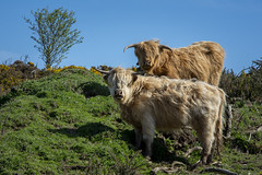 yorkshire locals (kapper22) Tags: outdoors sunny blue cows yorkshire