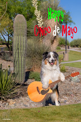 18/52 Ai Yai yai yai, I am the Aussie Bandito (Jasper's Human) Tags: aussie australianshepherd 52weeksfordogs 52wfd cincodemayo mexico