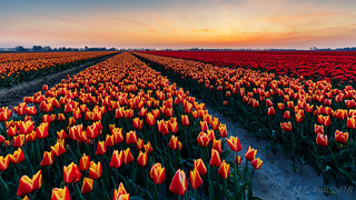 Red, Yellow and Orange @ the Dutch fields...