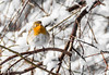 Are you shooting me? (Bence Boros) Tags: sony alpha a77m2 a77ii 55300mm long focallength tele telephoto zoom winter bird snow tree close colors sharp alone look eyes