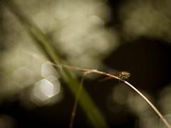 She's got the Look (ursulamller900) Tags: pyrrhosomanymphula früheadonislibelle pentacon28100 libelle dragonfly red bokeh mygarden